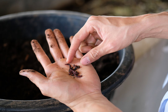 farmer hand holding earthworm. composting worm for producting compost manure