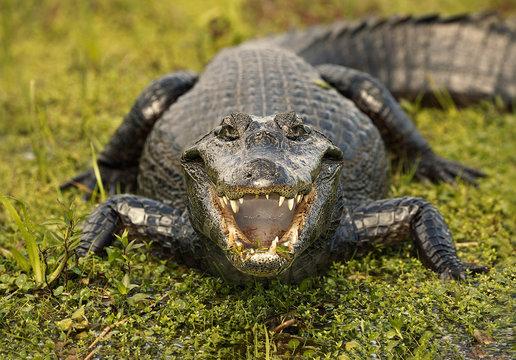 The alligator smile.