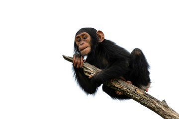 Fotorolgordijn Aap chimpanzee on a branch, isolated with white background