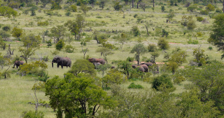 herd of elephant in the savannah, park kruger south africa
