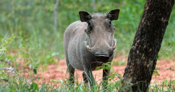 warthog in the savannah, park kruger south africa