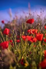 Fotobehang Klaprozen Poppy flower field daylight