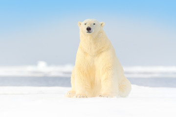 Photo sur Aluminium Ours Blanc Dangerous bear sitting on the ice, beautiful blue sky. Polar bear on drift ice edge with snow and water in Norway sea. White animal in the nature habitat, Europe. Wildlife scene from nature.
