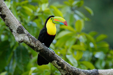 Wall Mural - Toucan sitting on the branch in the forest, green vegetation, Costa Rica. Nature travel in central America. Two Keel-billed Toucan, Ramphastos sulfuratus, pair of bird with big bill. Wildlife.