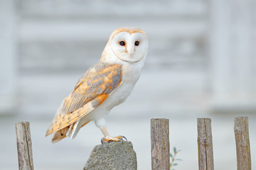 Wall Mural - Barn owl sitting on wooden fence in front of country cottage, bird in urban habitat, wheel barrow on the wall, Czech Republic. Wild winter and snow with wild owl. Wildlife scene from nature.