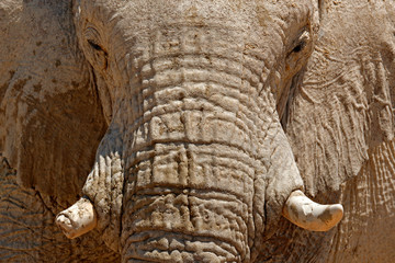 Fototapete - Detail of wrinkled elephant skin. Detail of big elephant with clay mud. Wildlife scene from nature. Art view on nature. Eye close-up portrait of big mammal, Etosha NP, Namibia in Africa.
