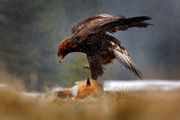 Fototapete - Golden Eagle feeding on kill Red Fox in the forest during rain and snowfall. Bird behaviour in the nature.  Action food scene with brown bird of prey, eagle with catch, Sweden, Europe.
