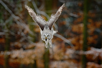 Fototapete - Bird in flight. Great Grey Owl, Strix nebulosa, flying in the forest, blurred autumn trees with first snow in background. Wildlife animal scene from nature.