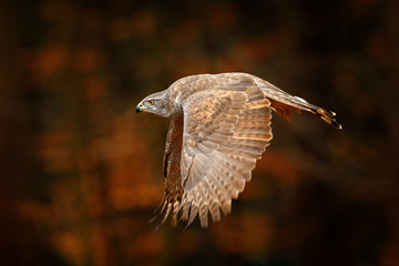 Wall Mural - Goshawk flying, bird of prey with open wings with evening sun back light, nature forest habitat, Germany. Wildlife scene from autumn nature. Bird fly in orange vegetation.