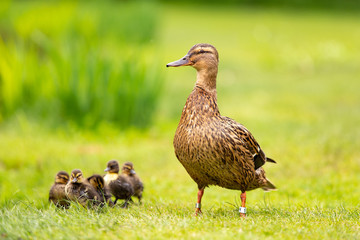 A proud duck with five babies walking on the grass.