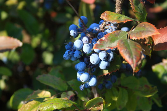 Blue berries on shrub with green and red leaves under sunlights. Oregon grape.