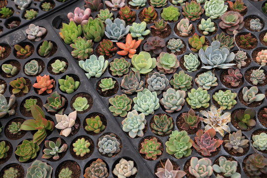 Tray of variety of propagating succulents by cuttings in the greenhouse garden