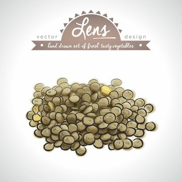 Lentils  Collection of fresh vegetables with leaf. Vector illustration. Isolated