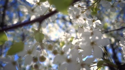 Wall Mural - apple tree bloom blossoms. Shallow DOF, closeup. Slow motion.