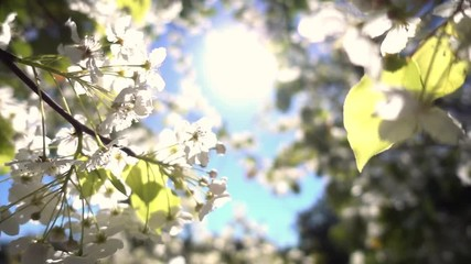 Wall Mural - Beautiful white flowering tree bloom blossoms framing bright sun in blue sky background. Shallow DOF, closeup. Slow motion.