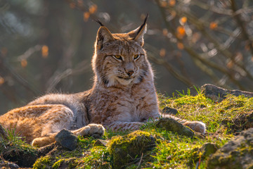 Photo sur Aluminium Lynx cute young lynx in the colorful wilderness forest