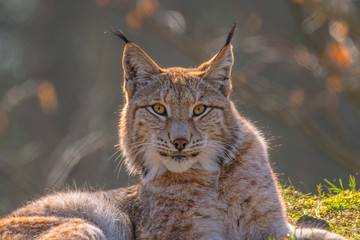 cute young lynx in the colorful wilderness forest