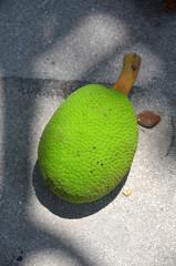 El árbol del pan o frutipan