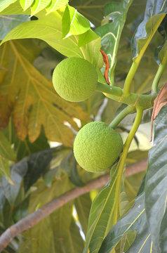 dos arboles de fruta en el árbol