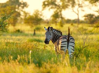 Lonley zebra in african savannah