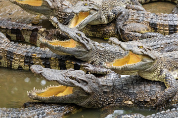 Portrait of many crocodiles at the farm in Vietnam, Asia.