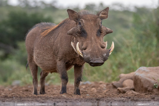 Common Warthog in the wild