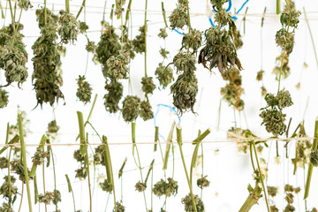 sorting and drying cannabis