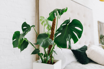Philodendron house plant in bright cozy room