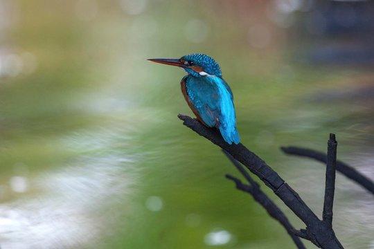 Common, river or Eurasian kingfisher (Alcedo atthis) sitting on branch in mangrove forest, tributary, Bentota Ganga, Bentota, Western Province, Sri Lanka, Asia