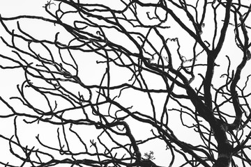Dead tree and branch isolated on white background. Black branches of tree backdrop. Nature texture background. Tree branch for graphic design and decoration. Art on black and white scene.
