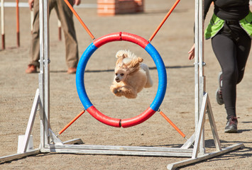 Poodle jumping through a hurdle at dog agility training. Big fur blowing in wind. Action and sports in concept.