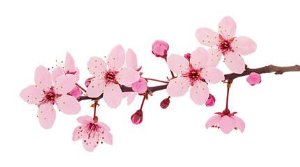 Cherry blossom branch, sakura flowers isolated on white background