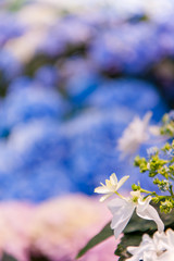 Foto op Textielframe Bloemen Beautiful Flowers (Hydrangea macrophylla) or Hortensia flower is blooming.