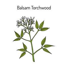 Obraz Balsam Torchwood amyris balsamifera , medicinal plant - fototapety do salonu
