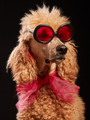 Funny isolated dog portrait with glasses