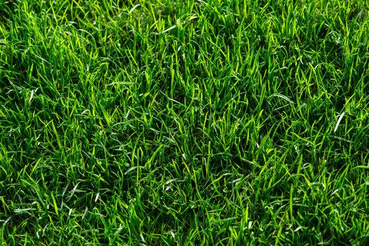sattgrüne Rasenfläche, Gräser, samtige Vegetationsdecke in der Morgensonne, top view