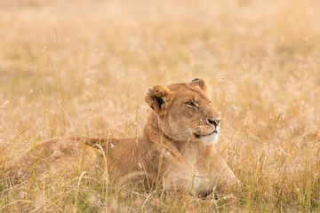 Poster Leeuw Lion in the savannah