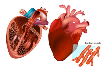 The human heart anatomy (Anterior View, Frontal section and cardiac muscle structure)