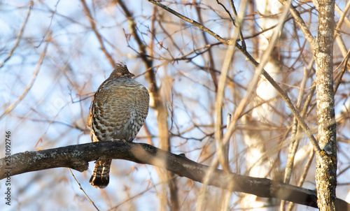 Ruffed grouse female all puffed out perched high in a tree