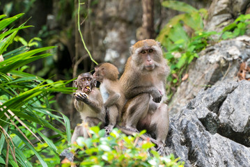 Adorable little monkey with a full mouth of food sitting on a rock with his family in Phang Nga, Thailand, Asia
