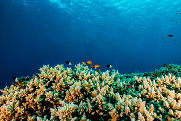 Fotobehang Koraalriffen Coral reefs and water plants in the Red Sea, Eilat Israel