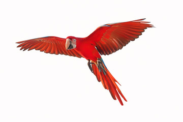 Papiers peints Perroquets Colorful flying parrot isolated on white background.