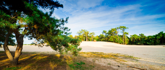 pine trees in the dunes of national park Loonse and Drunense Duinen,  The Netherlands. Panorama