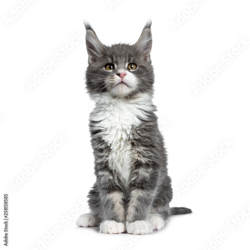 Wall mural Charming cute blue with white Maine Coon cat kitten, sitting straight up. Looking curious up / above lens with smart brown eyes. Isolated on white background.