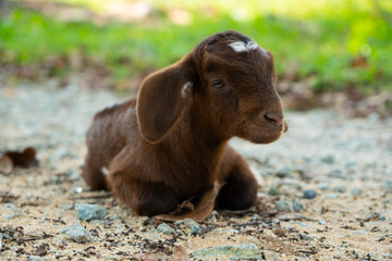 Baby Goat/ Kid happy-looking and lies relaxed on the ground in Natai, Phang Nga, Thailand, Asia