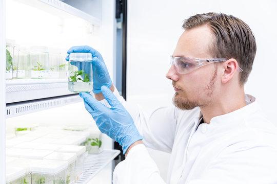 Forscher holt Genpflanze aus der Züchtung für Landwirtschaft