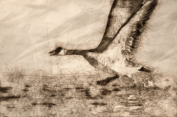 Wall Mural - Sketch of a Canada Goose Taking to Flight from the River Water