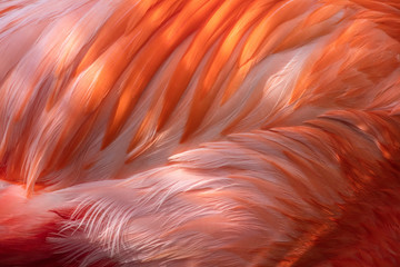 Pink Flamingo Abstract Feathers, Graphic Resource Macro Image - Beautiful Tropical Bird with Bright Feathers, macro view showing incredible feather detail. Wading bird in the Phoenicopteridae family.