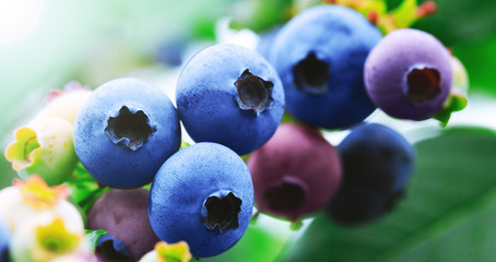 Blueberry branch with blue ripe blueberries. Delicious and healthy berry fruit. Blueberry field, orchard or garden in summer season. Raw and juicy fruits in natural background.
