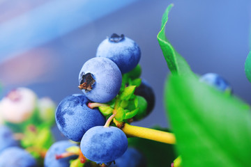 Real ripe blueberry branch on a blueberry bush. Blueberry field or orchard with real organic blueberries on the cluster. Raw and juicy fruits in natural background.
